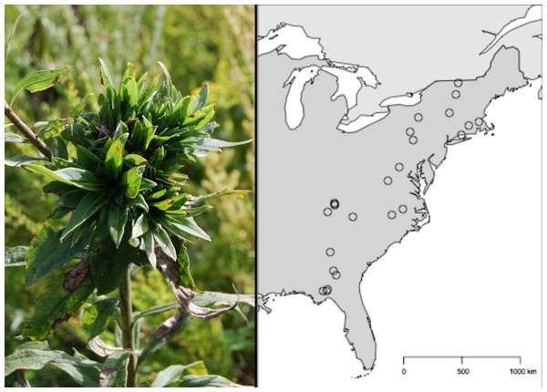 Geographic distribution of the 24 Solidago altissima populations surveyed for Rhopalomyia solidaginis across the eastern United States.
