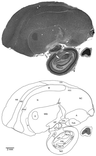 Medial sagittal section through the right brain of an adult male NC crow stained with Cresyl Violet (top) and schematic of the same section showing regional boundaries (bottom).