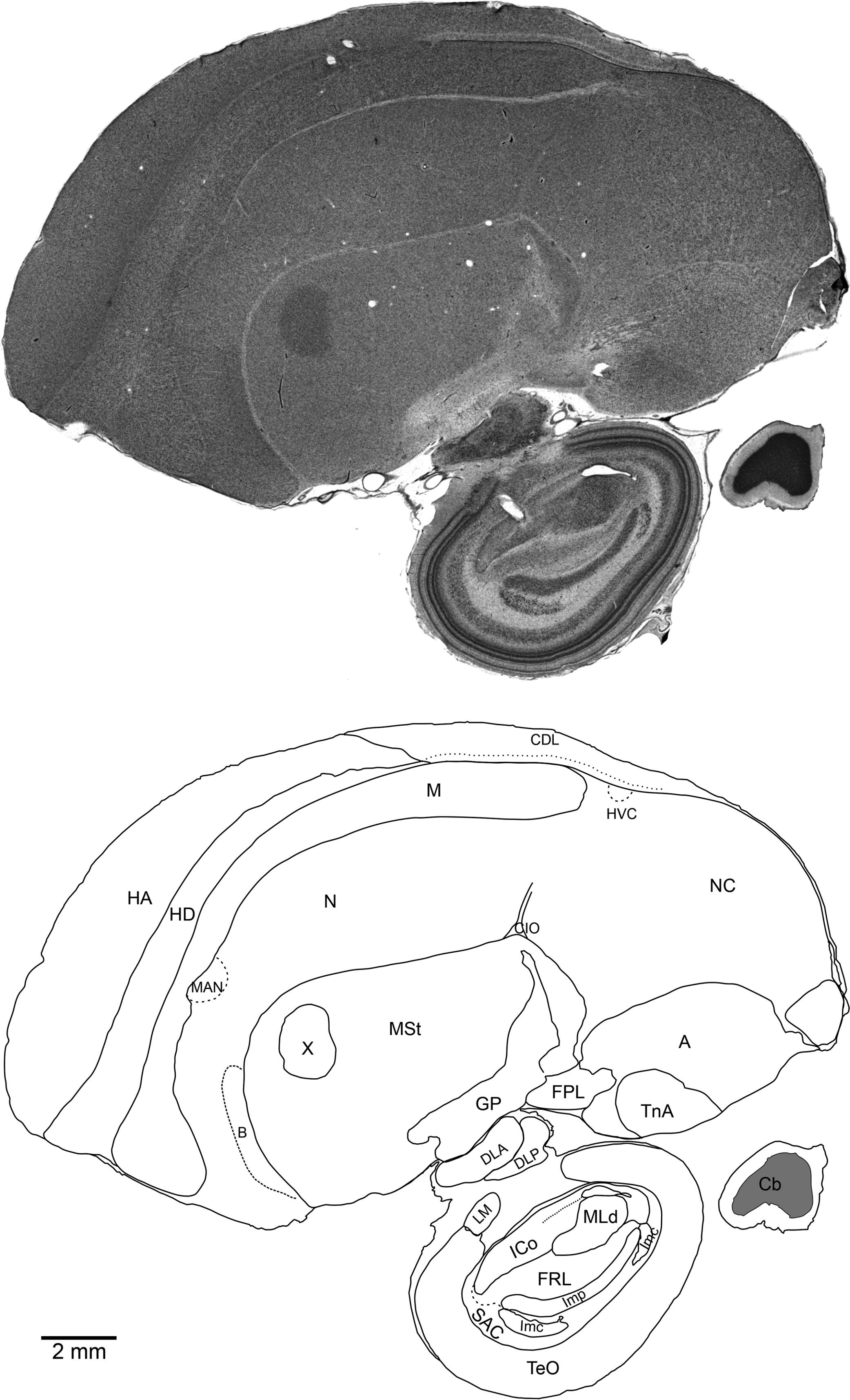 Perineuronal satellite neuroglia in the telencephalon of New ...