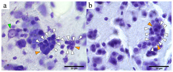 Microphotographs of PGCs in the mesopallium of one psittacid and one charadriid.
