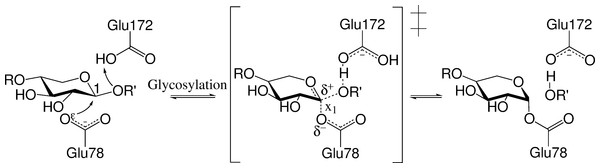 Conventional glycosylation step.