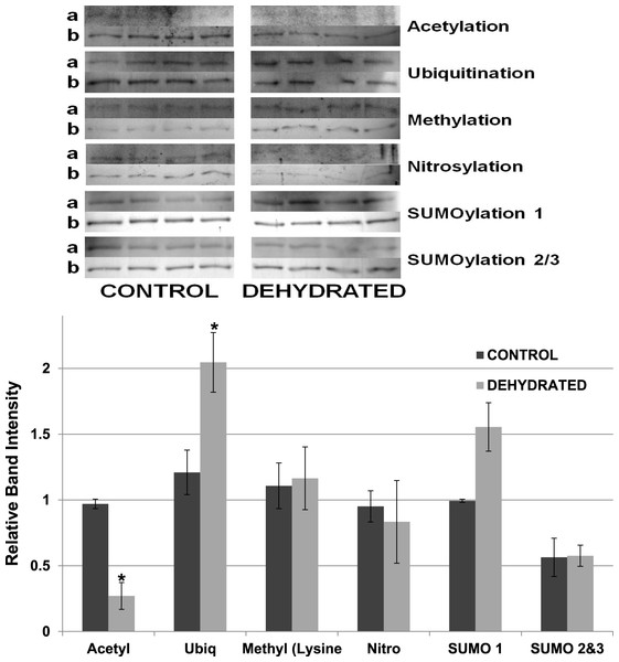 Relative band intensities of Western Blots loaded with samples of 7× concentrated purified muscle LDH from control and 40% dehydrated frogs.