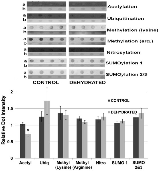 Relative intensities of Dot Blots prepared using samples of 7× concentrated purified muscle LDH from muscle of control and 40% dehydrated frogs.