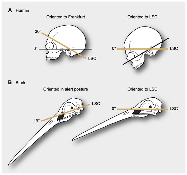 Differences in reference systems in skulls.