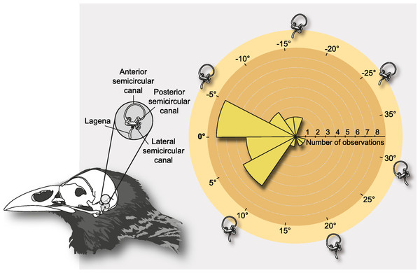 Schematic depiction of the semicircular canals and polar histogram of LSC orientations in extant birds, measured in alert posture.