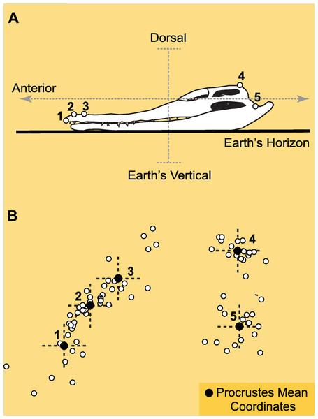 Landmarks and Procrustes alignment of dinosaur skulls.