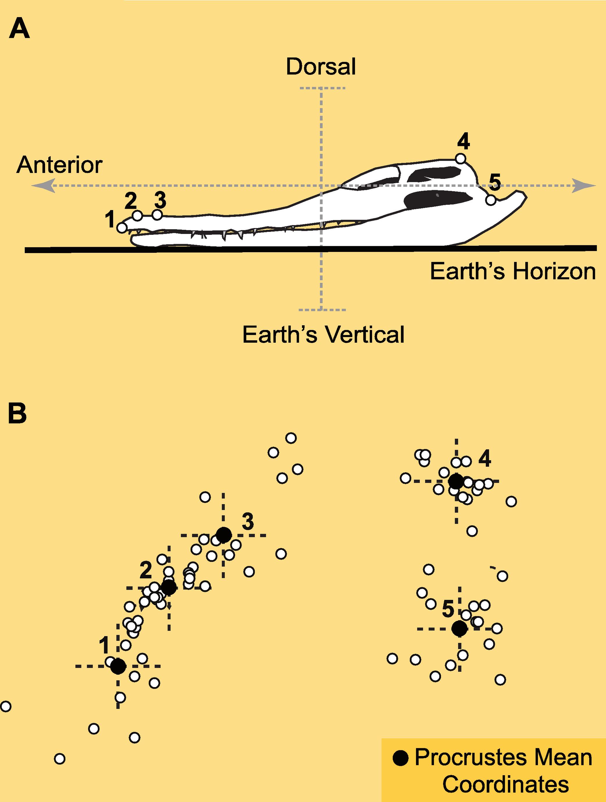 The variability of inner ear orientation in saurischian dinosaurs ...
