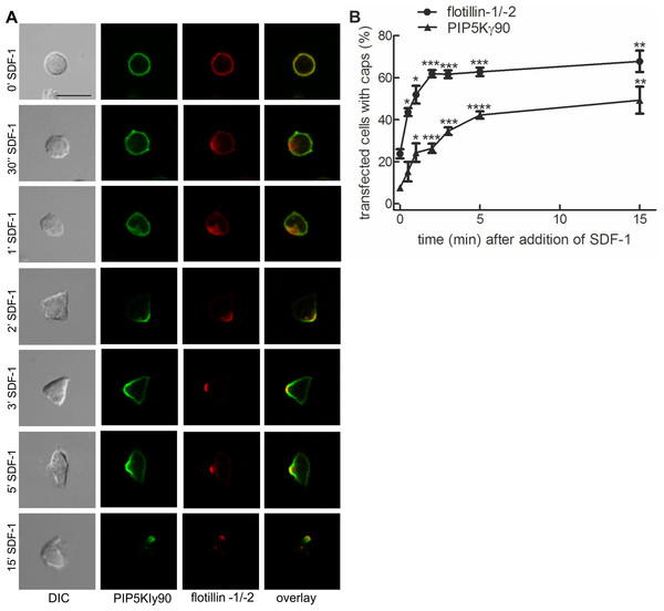 PIPKIγ90 cocaps with flotillins in human T cells during SDF-1-induced uropod formation.