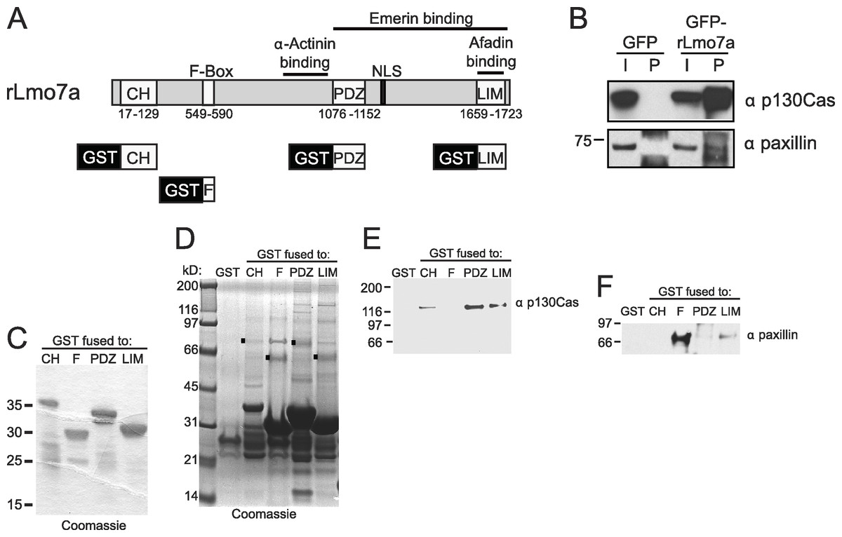 The Emerin Binding Transcription Factor Lmo7 Is Regulated By Circuit Diagram 810 124 Computerrelatedcircuit Association With Focal Adhesion Protein P130cas