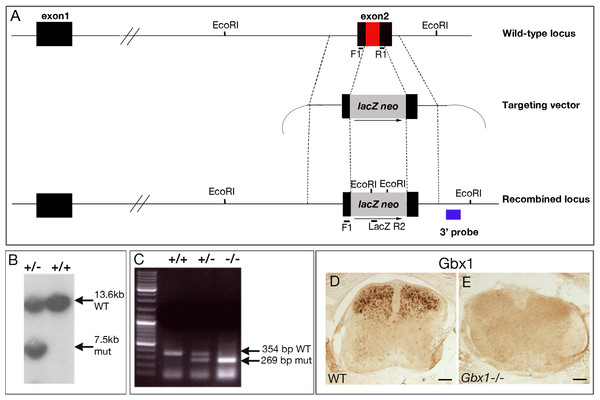 Inactivation of the mouse Gbx1 gene by homologous recombination in embryonic stem (ES) cells.