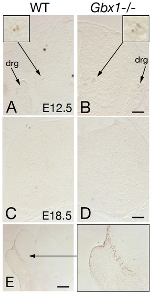 Examples of TUNEL labeling of lumbar spinal cord sections of wild-type (A, C) and Gbx1−/− (B, D) mice.