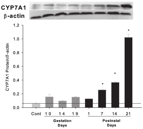 Hepatic expression of bile acid synthesis rate-limiting protein CYP7A1 in pregnant and lactating rats.