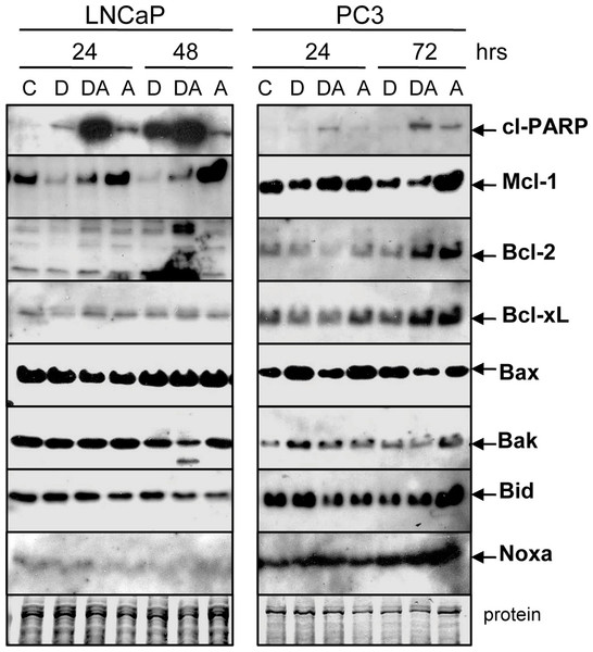 Doc counteracts the ABT-737-mediated increase in Mcl-1 protein.