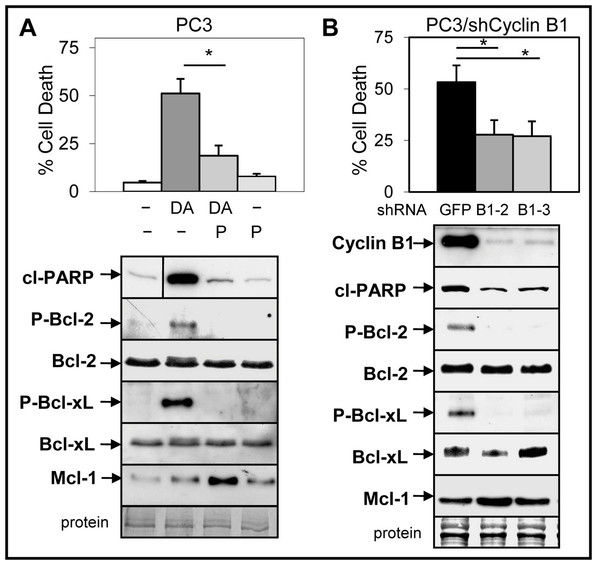 Inhibition of cyclinB1/Cdk1-mediated phosphorylation of Bcl-2/Bcl-xL blocks ABT-737 enhancement of Doc induced apoptosis in PC3 cells.
