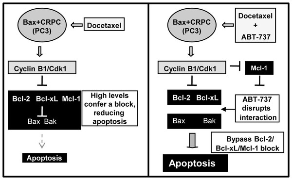 Schematic of how ABT-737 can sensitize Bax+ CRPC cells to Doc.