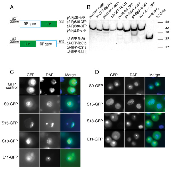 Expression of GFP-tagged RPs in S2 cells.