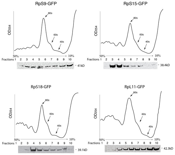 GFP-tagged RPs are present in ribosomal fractions.