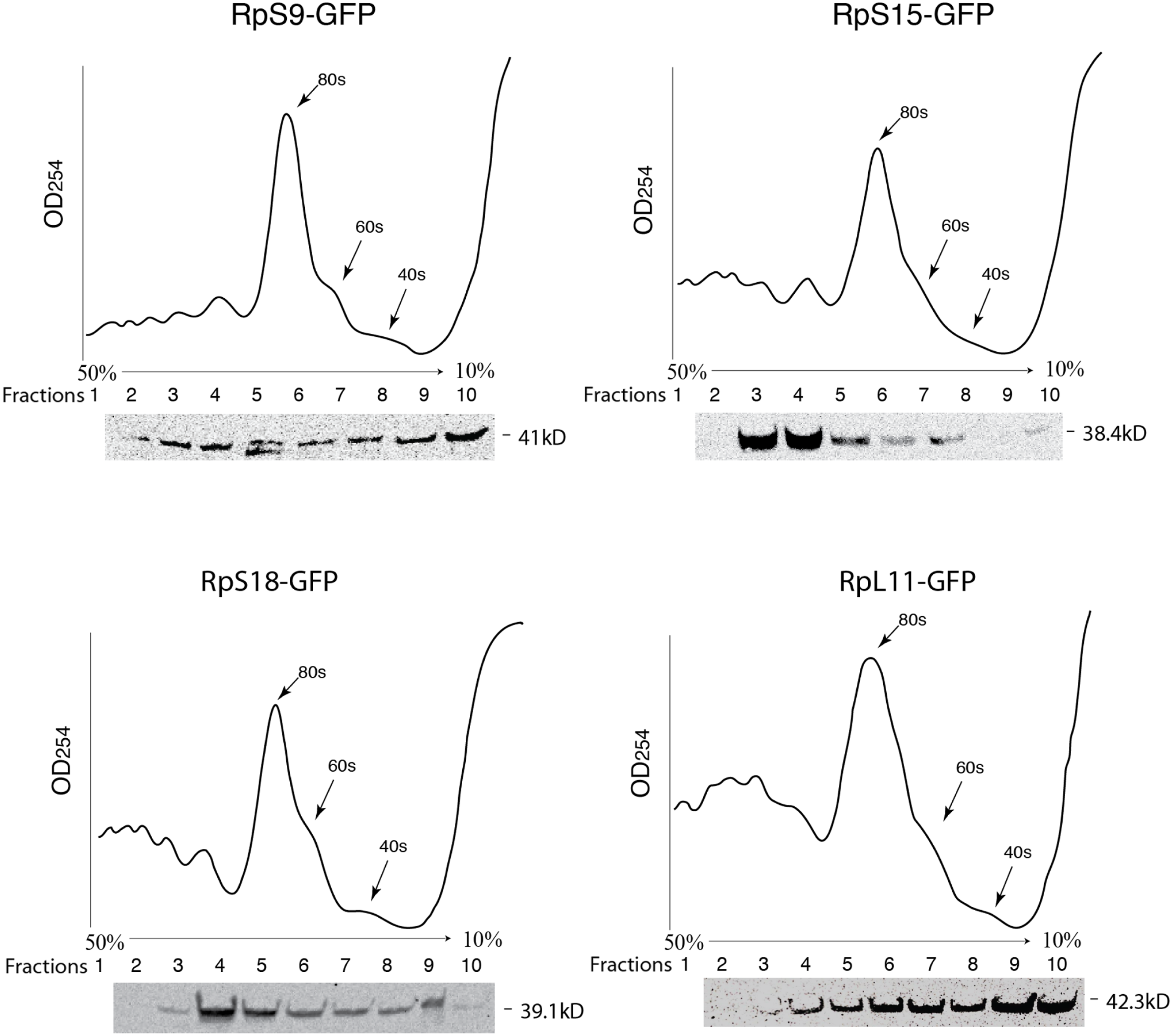 fig 3 full fluorescent protein tagging confirms the presence of ribosomal