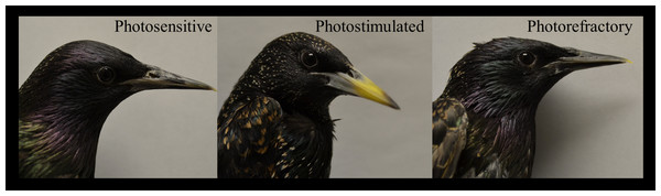 Beak coloration resulting from photo-manipulation.