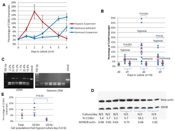 Hypoxia induces SDHB C136U RNA editing.
