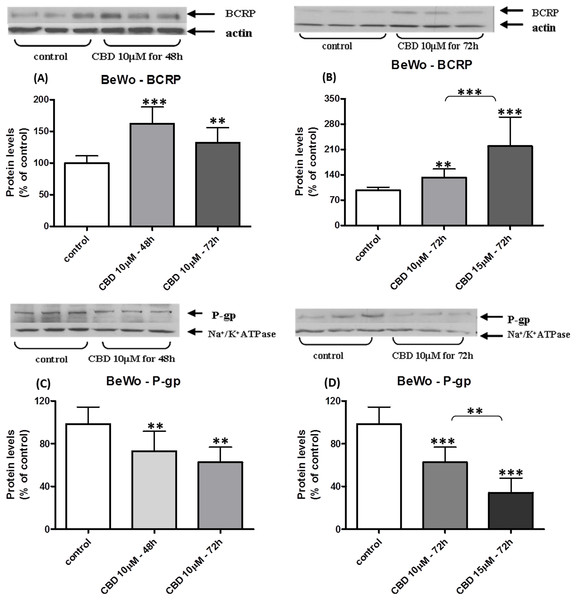 Long-term exposure of BeWo cells to CBD: changes in P-gp and BCRP protein levels.