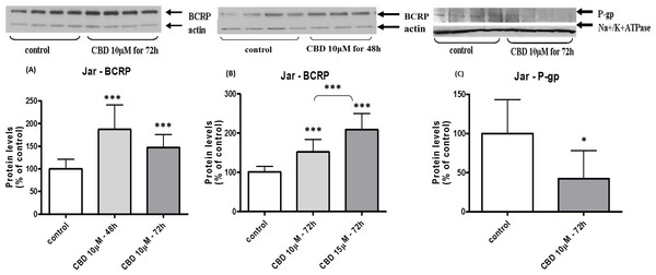 Long-term exposure of Jar cells to CBD: changes in P-gp and BCRP protein levels.