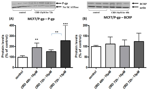 Long-term exposure of MCF/P-gp cells to CBD: changes in P-gp and BCRP protein levels.