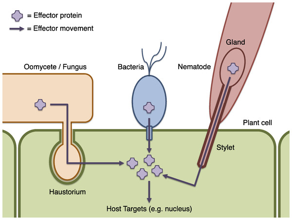 Schematic of effector infiltration into a host plant cell.