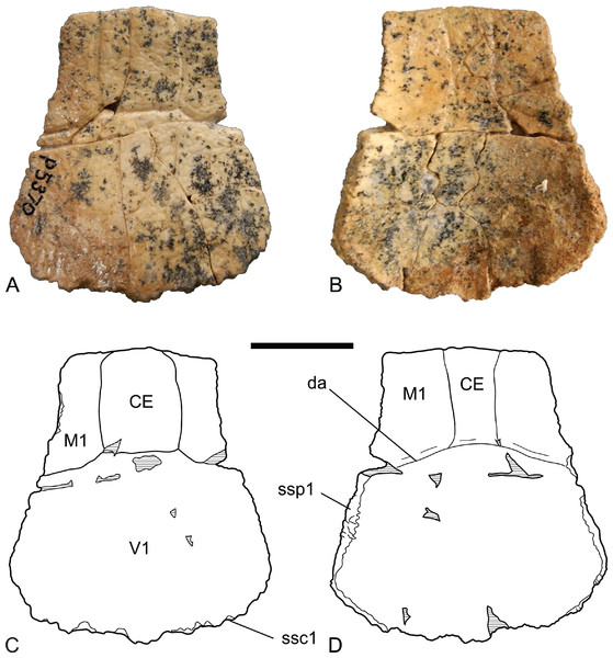 Chelodina (Chelodina) murrayi sp. nov., nuchal bone, NTM P5370.