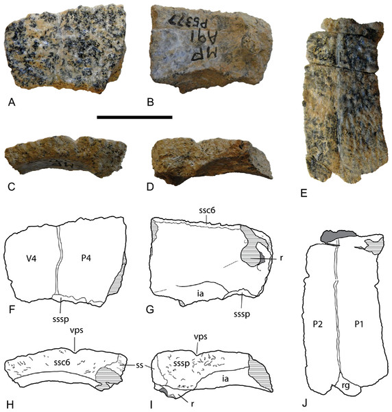 Chelodina (Chelodina) murrayi sp. nov., costal bones.
