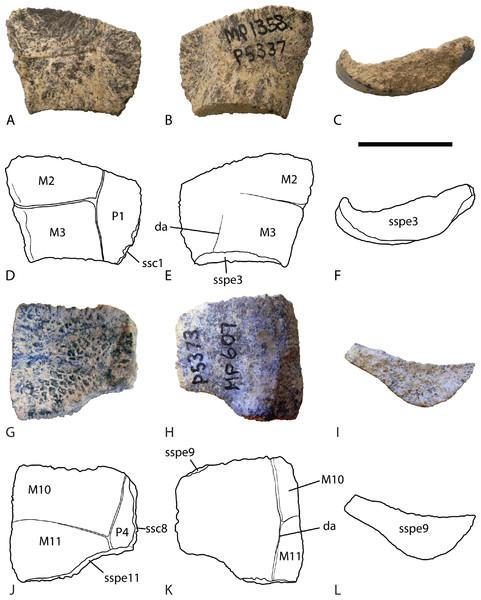 Chelodina (Chelodina) murrayi sp. nov., peripheral bones.