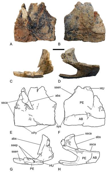 Chelodina (Chelodina) murrayi sp. nov., left hyoplastron, NTM P5369.