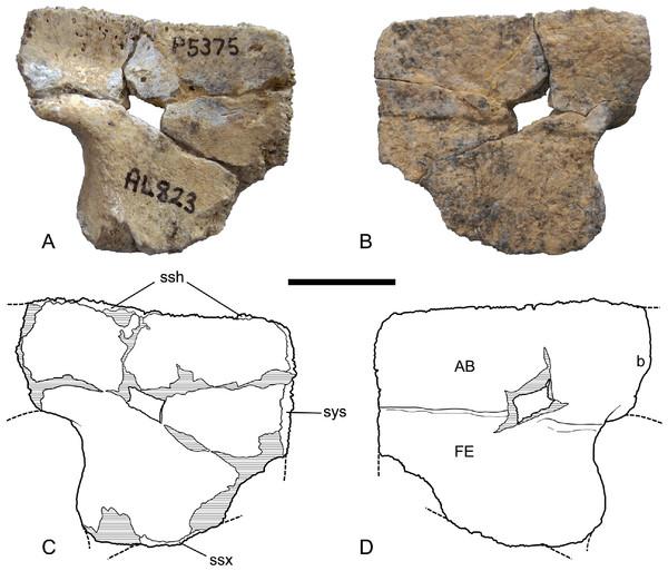 Chelodina (Chelodina) murrayi sp. nov., left hypoplastron, NTM P5375.