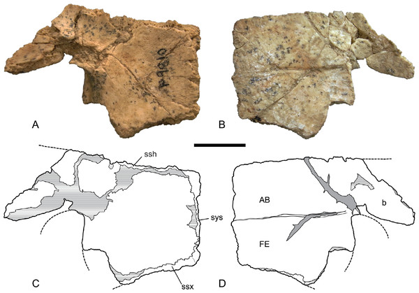 Chelodina (Chelodina) murrayi sp. nov., left hypoplastron, NTM P9810.