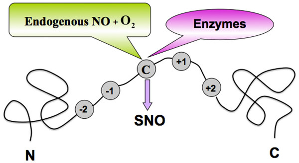A schematic drawing to show the S-nitrosylation (SNO) site of a protein.