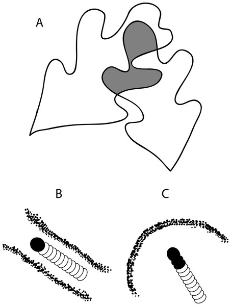 Drawing of (A) a leaf tie that shows two overlapping white oak leaves and the characteristic shelter shapes made by (B) Psilocorsis cryptolechiella/reflexella and (C) Psilocorsis quercicella.