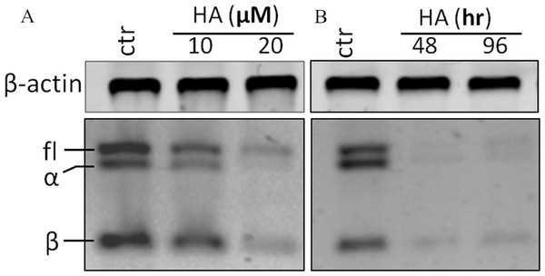 Harmine inhibits telomerase expression in MCF-7 cells in a dose- and time-dependent manner.