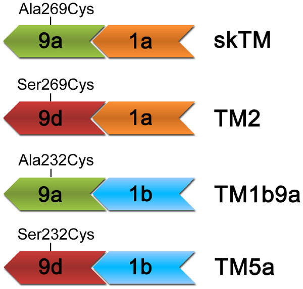Schematic illustration of the types of end-to-end junctions present in TM isoforms used in this work.