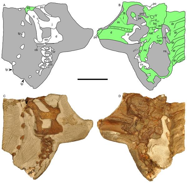 Skull and neck of Parasaurolophus sp., RAM 14000.