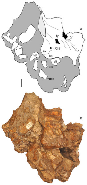 Partial braincase of Parasaurolophus sp., RAM 14000, in right lateral view.