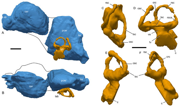 Cranial endocast of Parasaurolophus sp., RAM 14000, reconstructed from CT scans.