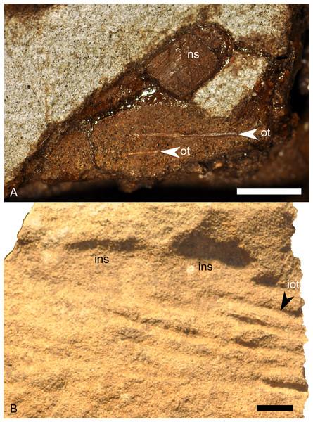 Ossified tendons of Parasaurolophus sp., RAM 14000.