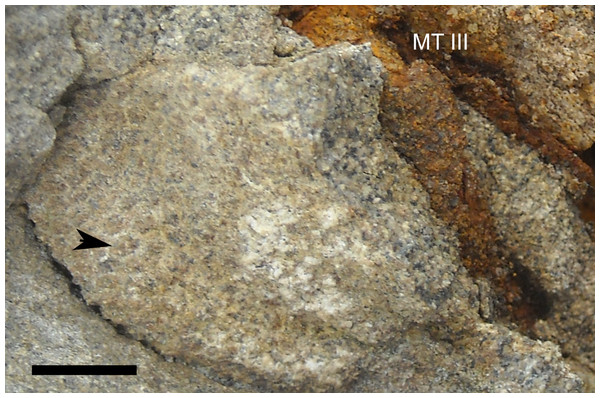 Skin impressions of Parasaurolophus sp., RAM 14000, from plantar surface of right pedal digit III.