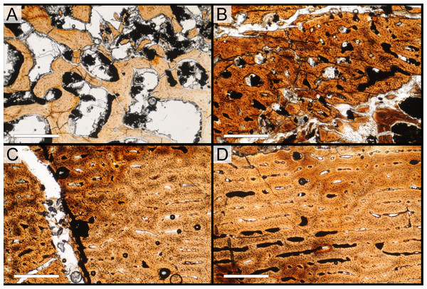 Bone microstructure of juvenile Parasaurolophus tibia in regular transmitted light (RAM 14000, histological sample B, cross-section near mid-diaphysis; see Fig. 18D for position of sample).