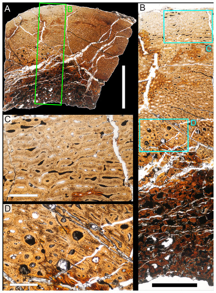 Bone microstructure of juvenile Parasaurolophus tibia in regular transmitted light (RAM 14000, histological sample A, through proximal portion of diaphysis; see Fig. 18D for position of sample).
