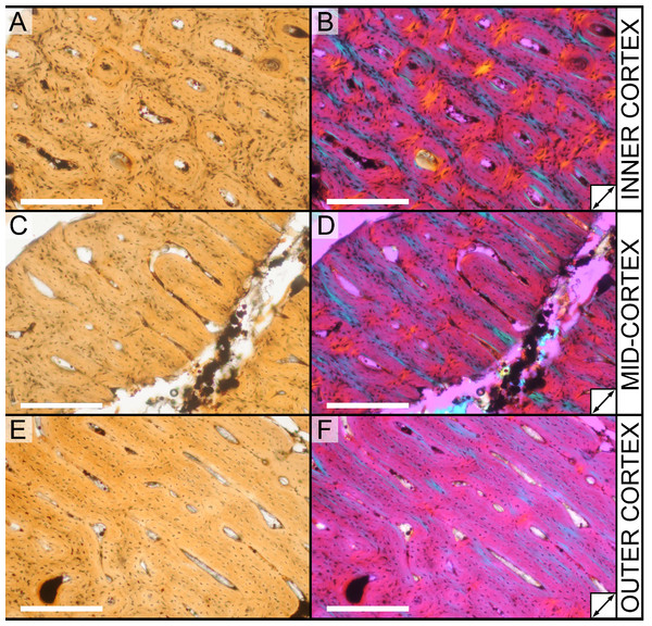 Histological variation in the cortex of juvenile Parasaurolophus tibia in regular transmitted light (A, C, E) and elliptically polarized (B, D, F) light (RAM 14000, sample A).