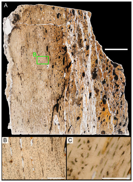 Bone microstructure of juvenile Parasaurolophus tibia in regular transmitted light (RAM 14000, sample A; proximal portion of diaphysis).