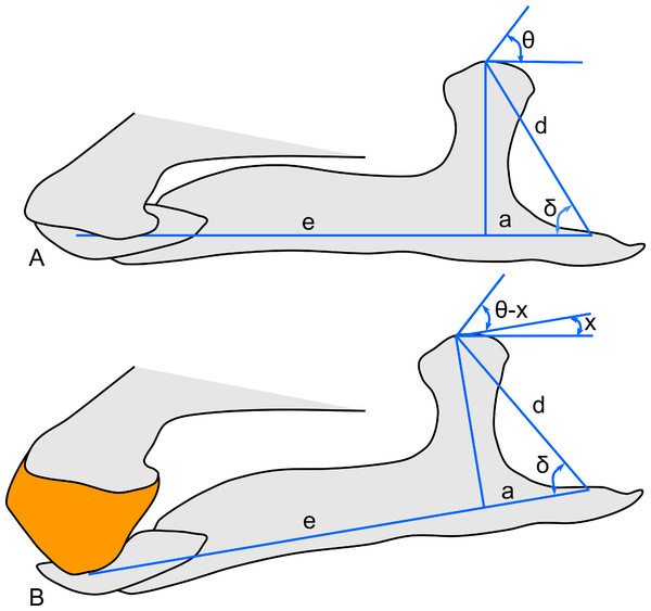 Schematic of the hadrosaur jaw system, showing the effects of a rhamphotheca on bite mechanics.