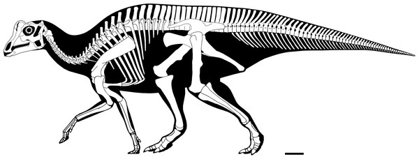 Reconstructed skeleton of juvenile Parasaurolophus sp., in left lateral view, based on RAM 14000.