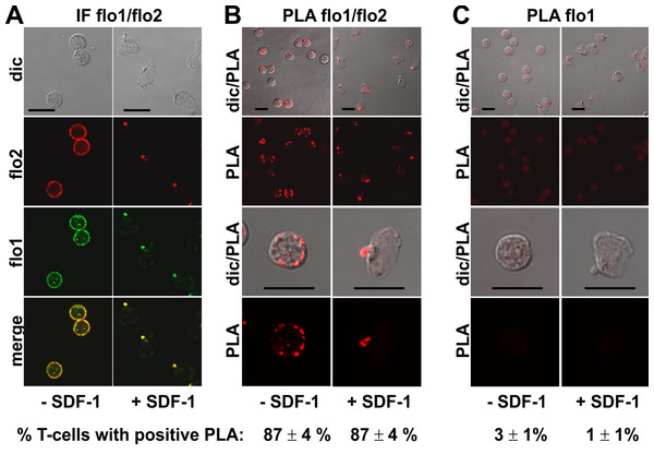 Interaction of flotillin-1 and -2 in human T-cells studied with PLA.